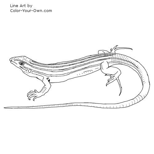 desert grassland whiptail lizard coloring page